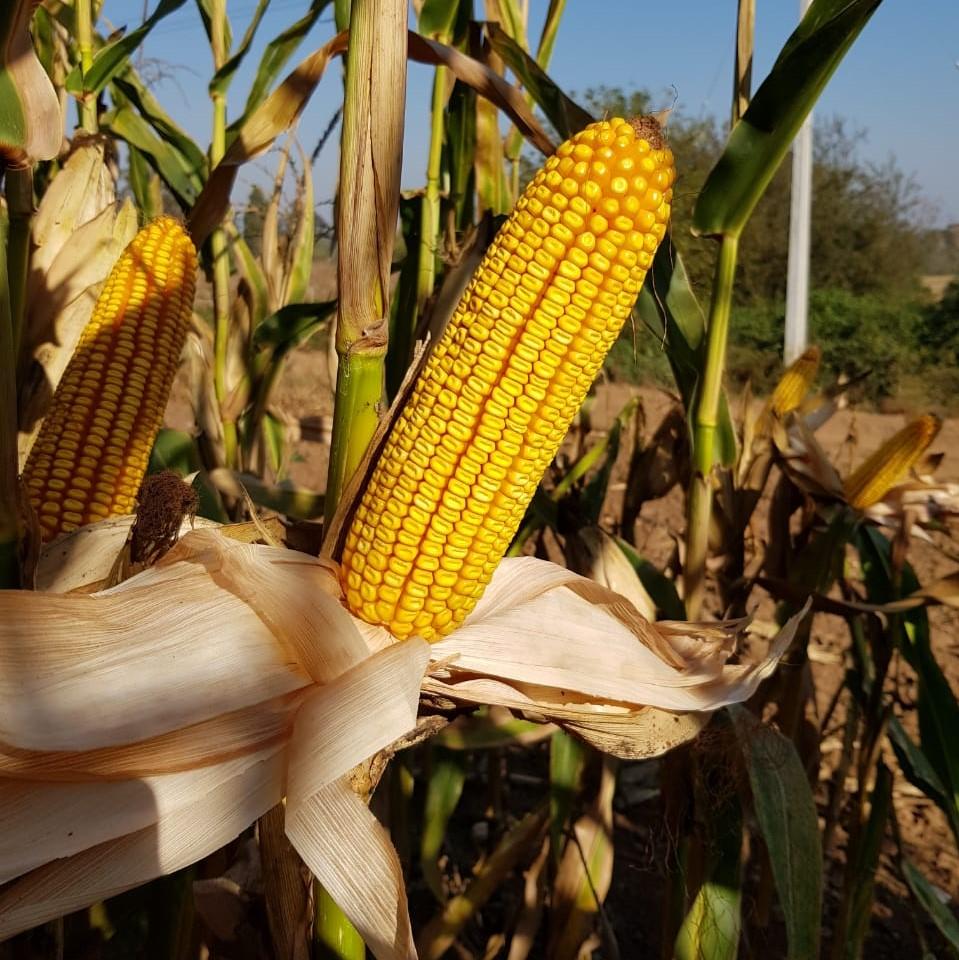 Semilla de Maiz